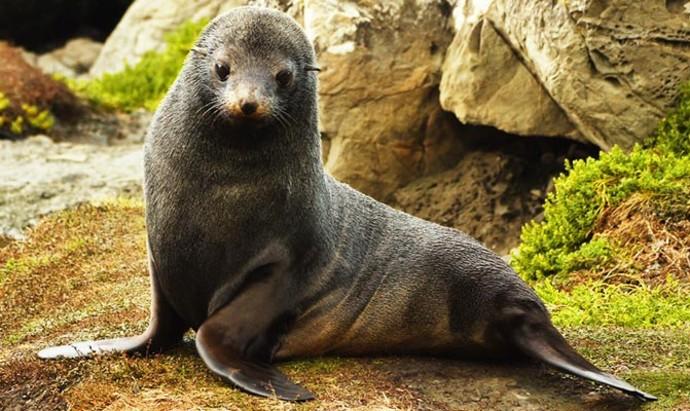 Fur Seal or Kekeno at Paparoa Point on the Kaikoura coast