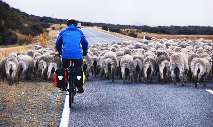 cyclist following sheep on the road to Mount Cook, close to Canterbury