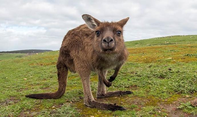 Kangaroo staring directly into camera lens