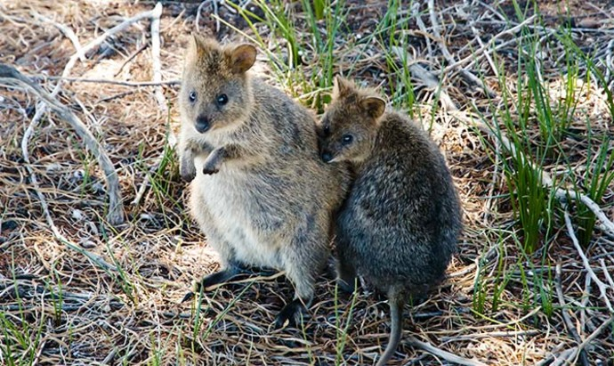 Two quokkas holding onto each other