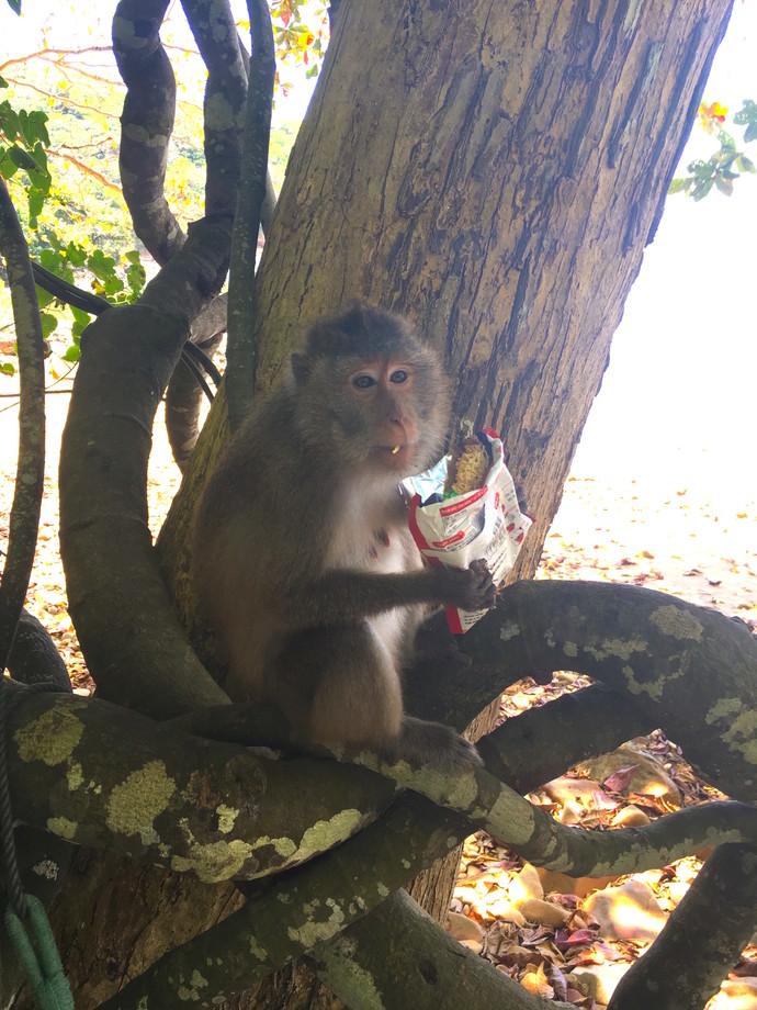 A monkey eats some noodles. Ong Dung Beach, Con Dao